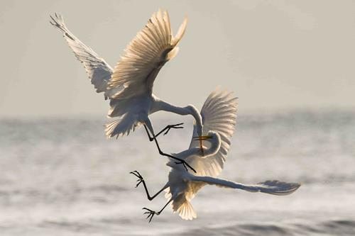 Chris Sabor - Herons Fighting